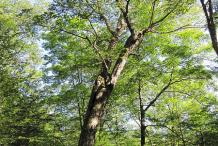 Mature-Yellow-Birch-Tree