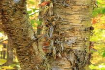 Mature-bark-of-Yellow-Birch