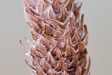 Mature-seed-cone-of-Yellow-Birch