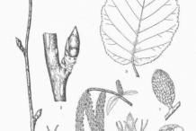 Plant-Illustration-of-Yellow-birch