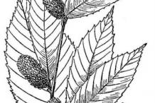 Sketch-of-yellow-birch