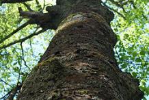 Trunk-of-Yellow-birch