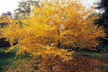 Yellow-leaves-during-fall