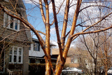Young-Bark-of-Yellow-Birch