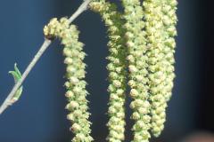 Flower-of-Yellow-Birch