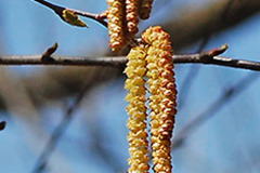 Male-catkins-of-Yellow-Birch