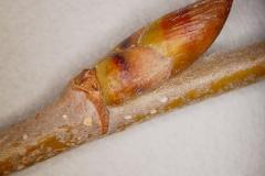 Winterbuds-of-Yellow-Birch