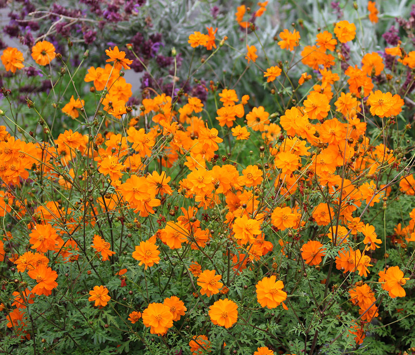 Yellow Cosmos Facts And Health Benefits