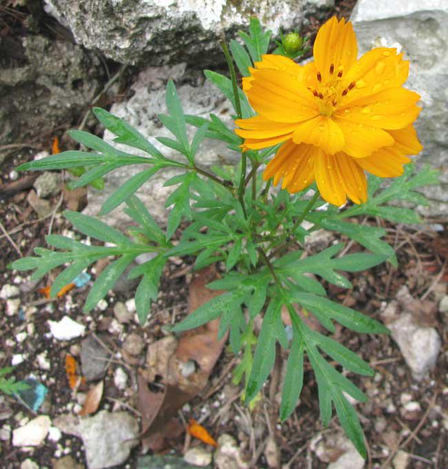 Cosmos Flower Medicinal Uses Best Flower Wallpaper