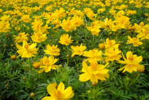 Growing-Yellow-Cosmos-plant