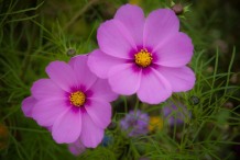 Other-varieties-of-Cosmos-plant
