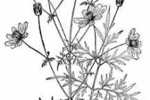 Sketch-of-Yellow-Cosmos-plant