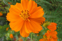 Closer-view-of-Yellow-Cosmos-flower