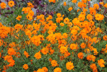 Flowers-of-Yellow-Cosmos-plant