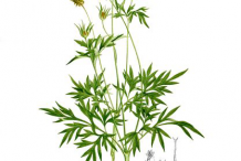 Plant-Illustration-of-Yellow-Cosmos--plant