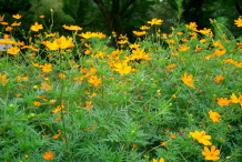 Yellow-Cosmos-growing-wild