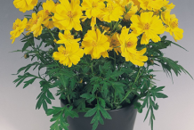 Yellow-Cosmos--plant