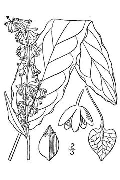 Sketch-of-Yellow-Dock-plant