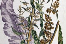Plant-Illustration-of-Yellow-Dock