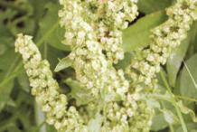 Flower-of-Yellow-Dock-Plant