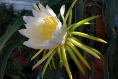 Yellow-Dragonfruit-flower