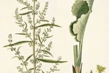 Plant-illustration-of-Yellow-duck-root