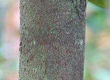 Yellow-Durian-bark