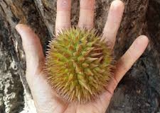 Yellow-Durian-fruit