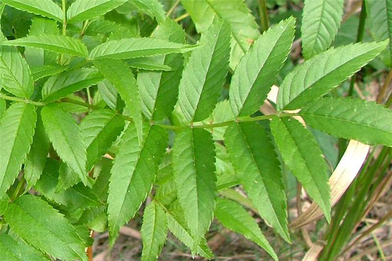 Leaves-of-Yellow-Elder