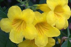Closer-view-of-flowers-of-Yellow-Elder