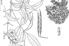 Plant-Illustration-of-Yellow-Elder
