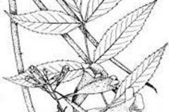 Sketch-of-Yellow-Elder