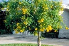 Yellow-Elder-Tree