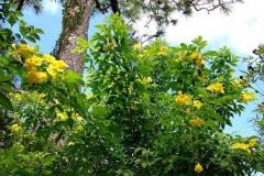 Yellow-Elder-plant-growing-wild