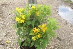 Yellow-elder-grown-on-the-pot