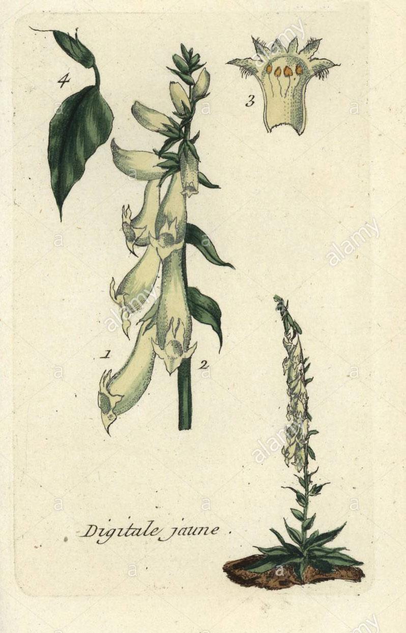Plant-Illustration-of-Yellow-Foxglove