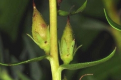 Immature-fruits-of-Yellow-Foxglove