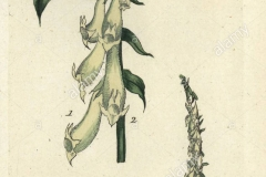 Plant-Illustration-of-Yellow-Foxglove