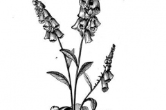 Sketch-of-Yellow-Foxglove