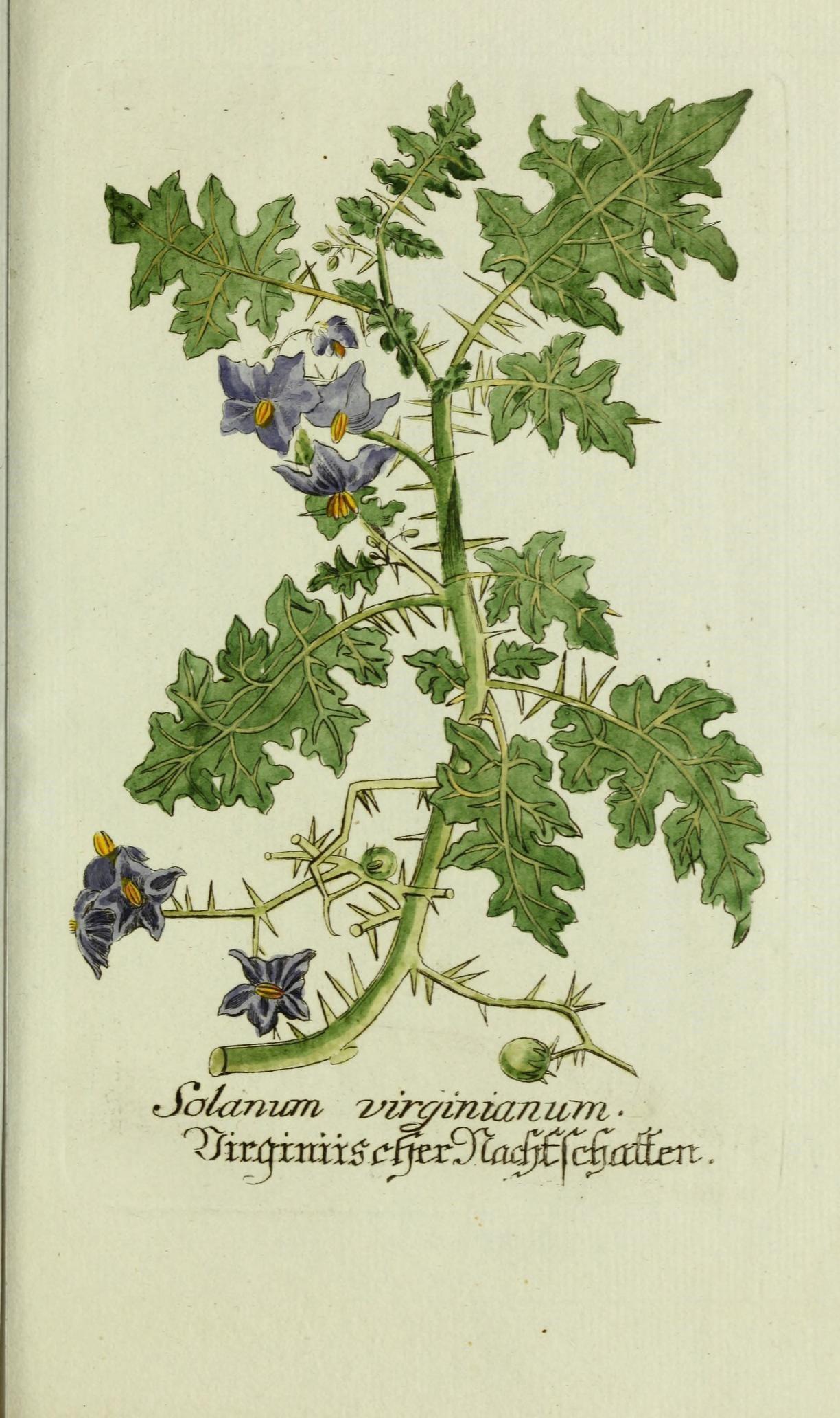 Plant-illustration