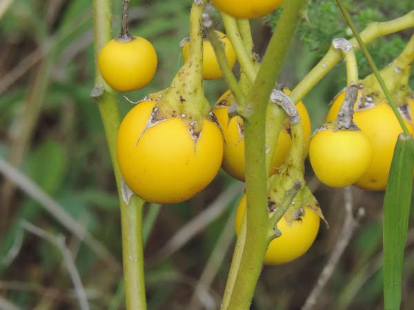 Ripe-berries