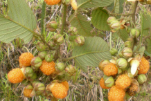 Fruit-of-Yellow-himalayan-raspberry
