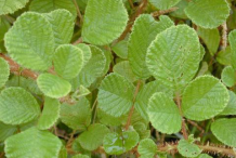 Leaves-of-Yellow-himalayan-raspberry