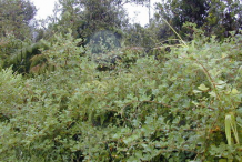 Yellow-himalayan-raspberry-growing-wild