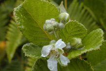 Flower-of-Yellow-himalayan-raspberry