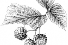 Sketch-of-Yellow-Himalayan-Raspberry