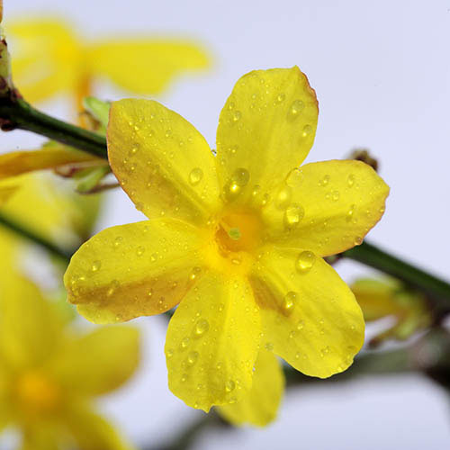 Closer-view-of-flower-of-Yellow-jasmine