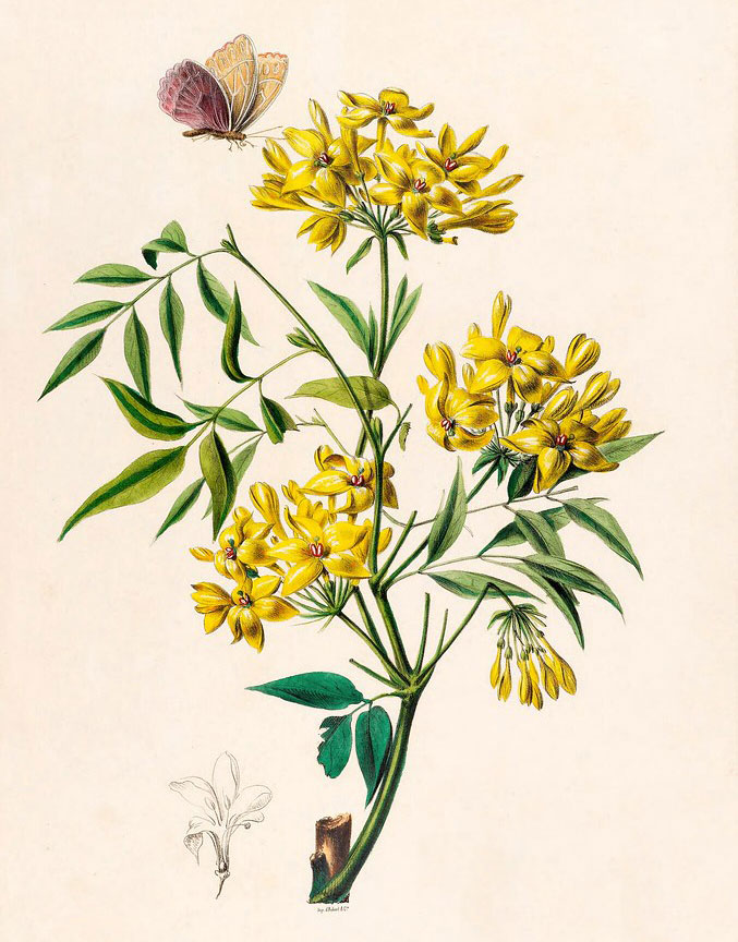 Plant-Illustration-of-Yellow-jasmine