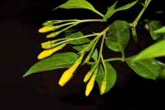 Flowering-buds-of-Yellow-jasmine