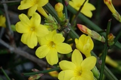 Flowers-of-Yellow-jasmine